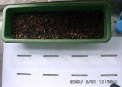 プランターにヤトロファ育苗用の土をセット