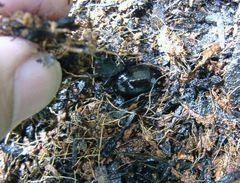 ヤトロファの種に土を盛って水やり